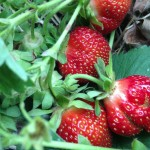 Creque's Greenhouse pick your own strawberries
